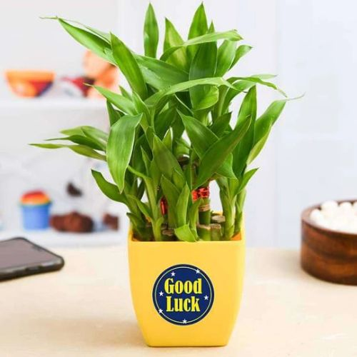 2 Layer Lucky Bamboo Plant for Someone You Care