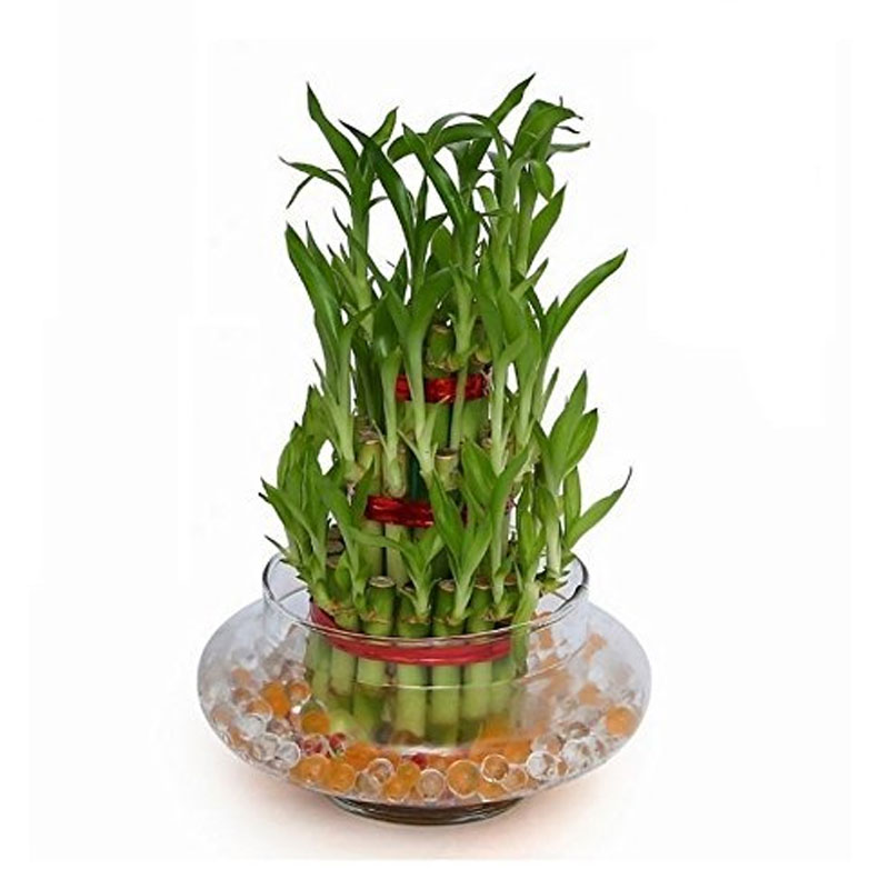 Lucky Bamboo 3 Layer Plant