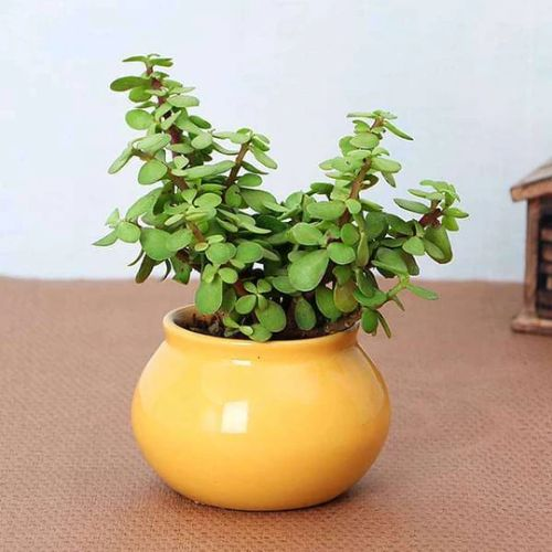 Jade Plant in Handi Pot