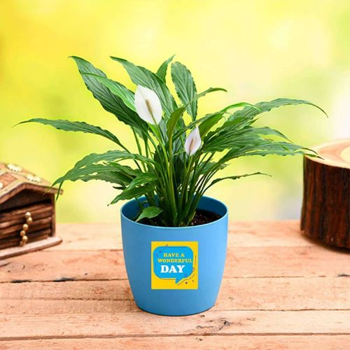Peace Lily for Wonderful Day - Gift Plant